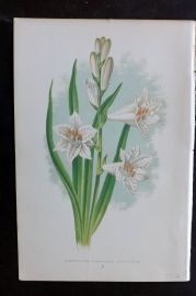 Wooster 1874 Antique Botanical Print. Anthericum (Paradisia) Liliastrum